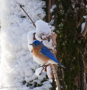 Bluebird in Snow, Jonesboro, Arkansas