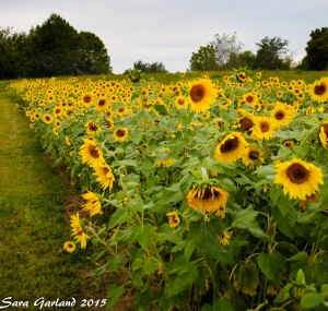 Sunflowers Watermark