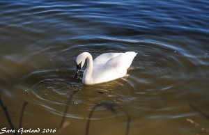 Trumpeter Swan, Magness Lake, Heber Springs, Arkansas
