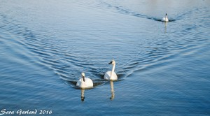Trumpeter Swans at Magness Lake, Heber Springs, Arkansas